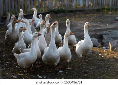 dirty geese go in the setting sun. farmyard village