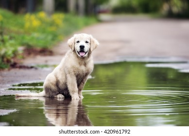 dirty golden retriever puppy sitting in a puddle
