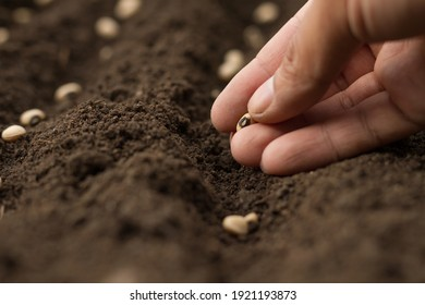Dirty hand of professional farmer sowing seeds of vegetable on soil by care.