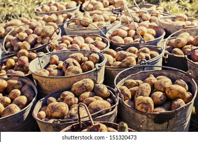 Dirty harvested potatoes in a metal baskets.