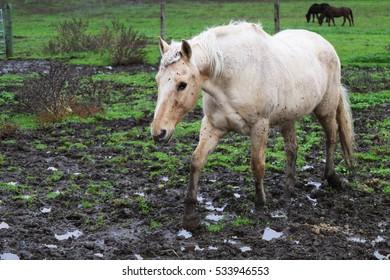 Dirty Horse Walking in Mud
