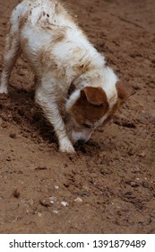 DIRTY JACK RUSSELL DOG DIGGING A HOLE  IN DIRT.