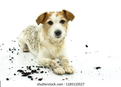 DIRTY JACK RUSSELL DOG LYING DOWN AFTER PLAY IN A MUD PUDDLE ISOLATED ON WHITE BACKGROUND. STUDIO SHOT. COPY SPACE.