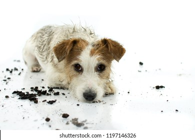 DIRTY JACK RUSSELL DOG LYING DOWN ON FLOOR AFTER PLAY IN A MUD PUDDLE ISOLATED ON WHITE BACKGROUND. STUDIO SHOT. COPY SPACE.