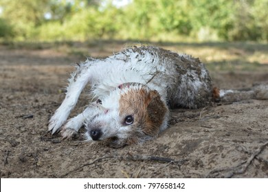DIRTY JACK RUSSELL DOG IN A MUD PUDDLE