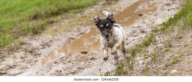dirty jack russell terrier dog is running fast over a wet dirty path