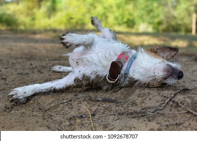 DIRTY JACK RUSSELLL DOG WALLOW IN THE MUD