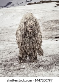 Dirty komondor dog, also known as Hungarian sheepdog, in snowy Carpathian mountains. Dirty funny homeless dog on the snow. Very dirty shepherd dog in mountains