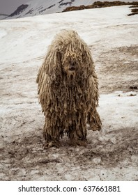 Dirty komondor dog, also known as Hungarian sheepdog, in Carpathian mountains. Dirty funny dog on the snow.