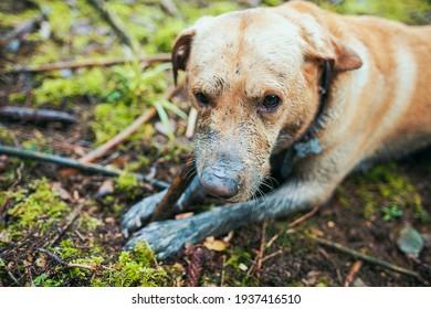 Dirty labrador retriever bites a stick in forrest. Muddy dog.