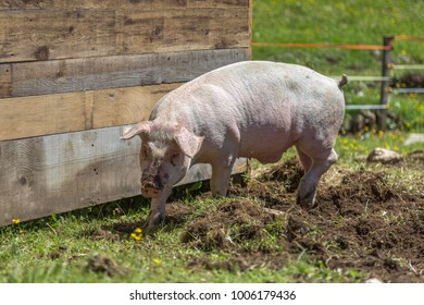 Dirty Little Domestic Pig in a Farm.