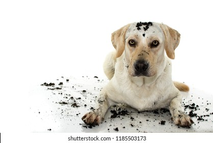 DIRTY MIXEDBRED GOLDEN RETRIEVER AND MASTIFF DOG, AFTER PLAY IN A MUD PUDDLE, ISOLATED AGAINST WHITE BACKGROUND. STUDIO SHOY WITH COPY SPACE.