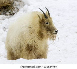 Dirty mountain goat on snow digging for grass and other food
