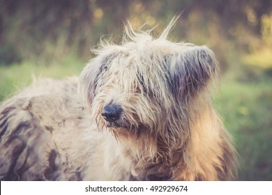 Dirty Old English sheepdog in the forest