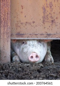 Dirty pig peeks out of rusty door