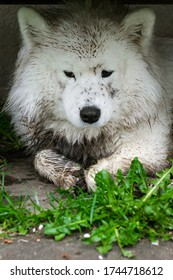 Dirty samoyed dog with guilty face laying on ground, closeup portrait