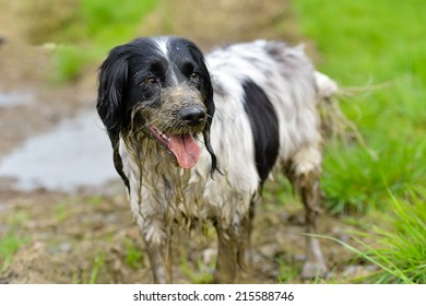 Dirty Spaniel wallowing in a mud hole