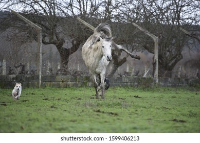 Dirty Spanish horse jumping while a small dog is running in a field - Shutterstock ID 1599406213