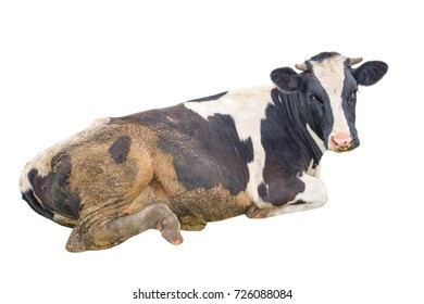 Dirty spotted black and white cow isolated on white. The cow lies and looks straight to the camera. Isolated cow close up. Farm animals.