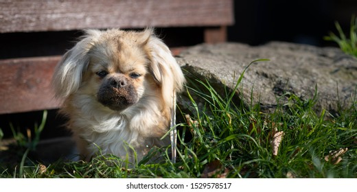 Dirty tibetan spaniel dog digging a hole in the ground to sit in, getting dirt all over her face