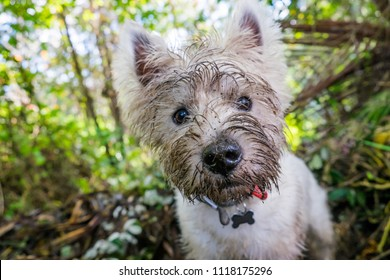 Dirty west highland terrier westie dog with muddy face outdoors in nature - portrait of head with shallow depth of field