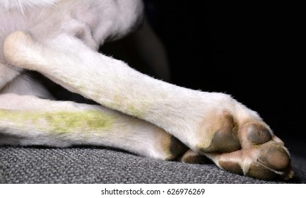 dirty Whippet Paws