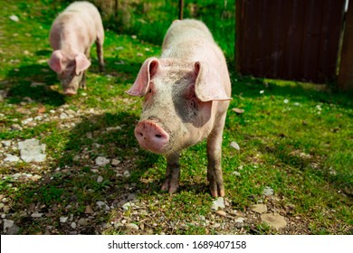 dirty, young pigs, walking on the street, on a summer day, in the village