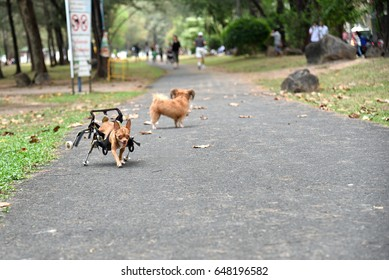 Disabled dog exercise in the parks.