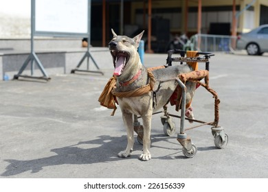 Disabled dog in a wheelchair.