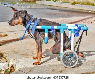 disabled dog in a wheelchair on cement floor ground
