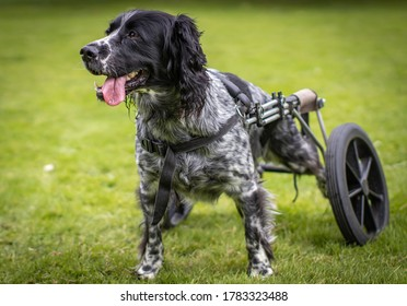 Disabled dog in wheels having fun
