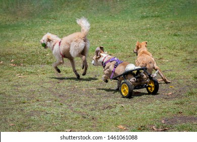 Disabled dog with wheels running and playing with other dogs