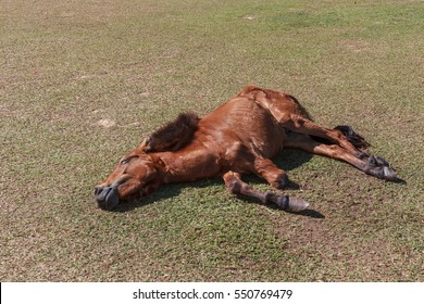 disabled Horse have three legs , sleep on the grass