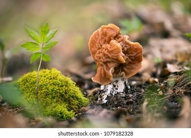 Discina fastigiata. Inedible mushrooms. Uncultivated fungi.