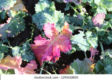 Discoloration of rapeseed leaves . Purple or pink rapeseed leaves .  Deficiency in rapeseed . phosphorus deficiency