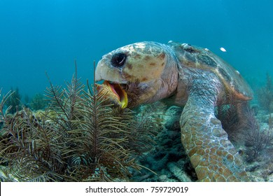 I discovered what seemed like an older, large Loggerhead Turtle foraging for food. His head seemed extremely large in comparison to the body.