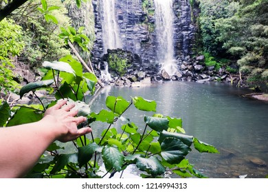 Discovery - hand on kawakawa plant at Wairoa (Te Wairere) Waterfall and swimming hole, Kerikeri, Far North District, Northland, New Zealand, NZ
