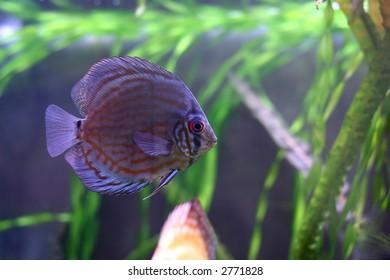 the discus fish in 200 l aqarium, artificial lighting, serial shooting