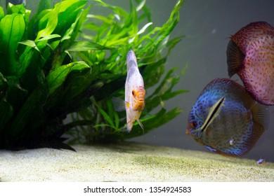 discus fish in amazonian aquarium