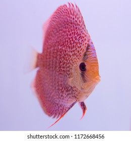 Discus fish in an aquarium on a white background