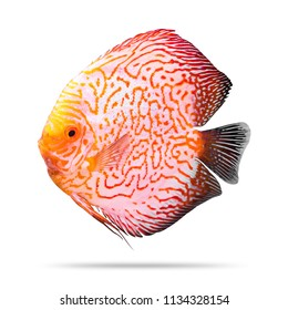 Discus fish isolated on white background. Orange pattern. ( Clipping path )