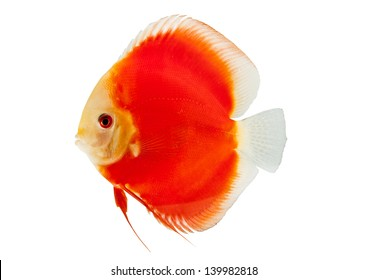 Discus Fish Isolated on white Background