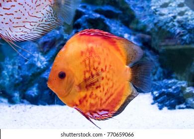 Discus fish nature aquarium animal background