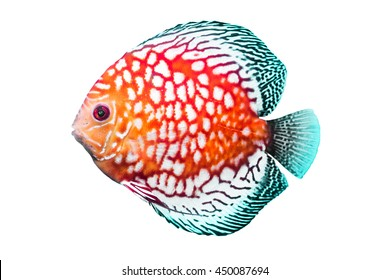 Discus Fish or Pompadour Fish or Symphysodon Fish on white background