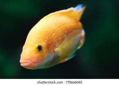 Discus fish swimming