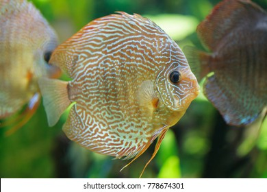 Discus fish swimming