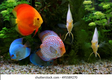 Discus (Symphysodon), multi-colored cichlids in the aquarium, the freshwater fish native to the Amazon River basin