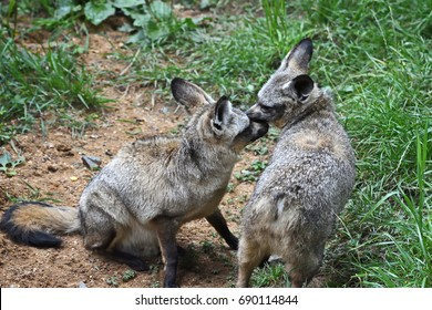 Discussion of two Bat-eared foxes (Otocyon megalotis)