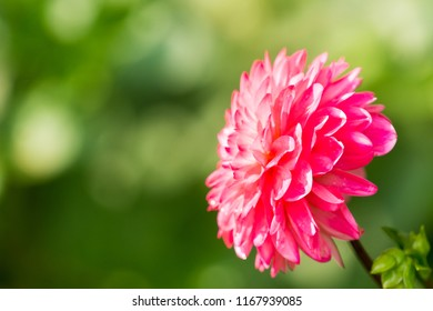 Dise View of a beautiful Purple Ball Dahlia Flower on a sunny Day.