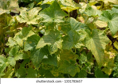 The disease of cucumber downy mildew. Yellowing of cucumber leaves affected by the disease. Work in the garden, plant care. For the site directory.
